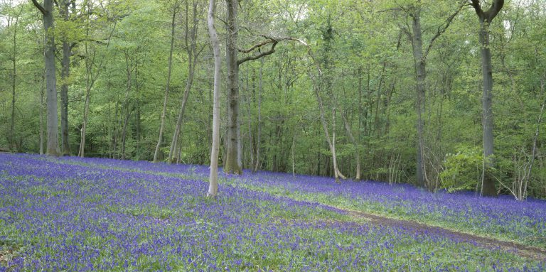 Bank Holiday Ideas - Walk Amongst The Bluebells